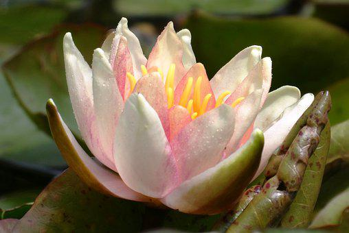 Water Lily, Ditch, Flower, Summer, Bloom, Water Plant
