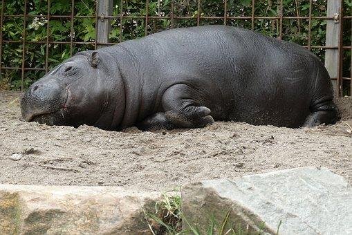 Dwergnijlpaard, Zoo, Blijdorp, Hippo, Netherlands