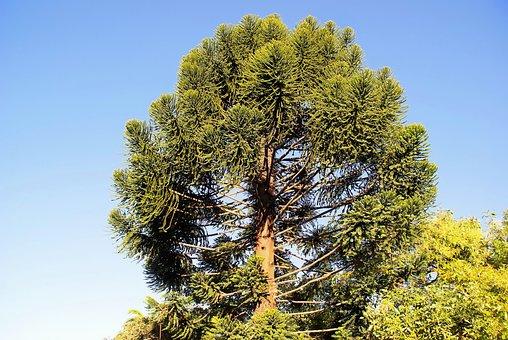 Guatemala, Araucaria, Araucaria Heterophylla, Tree