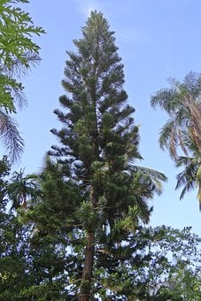 Araucaria Heterophylla, Tree, Conifer, Araucariaceae