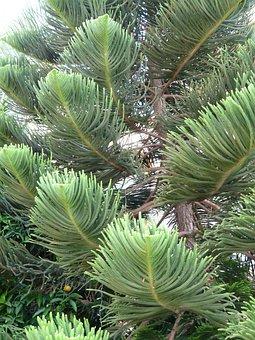 Branches, Tree, Distinctive, Araucaria Heterophylla