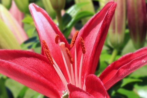 Asiatic, Lily, Macro, Stargazer, Horticulture, Garden