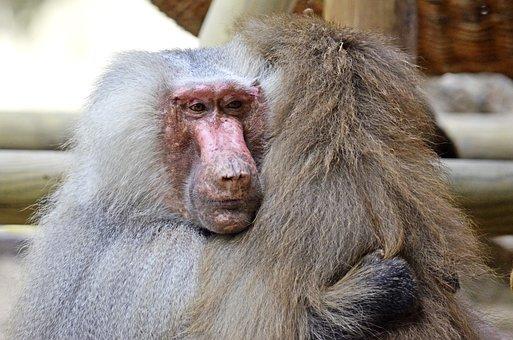 Hamadryas, Baboon, Ape, Animals, Primates
