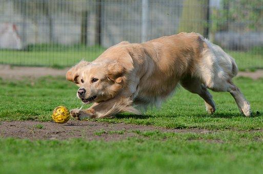 Golden Retriever, Ball, Ball Junkie, Ball Hunting