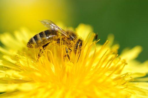 Bee, Always, Pollen, Insect, Nature, Macro, Nectar