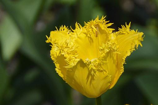 Tulip, Tulpenbluete, Blossom, Bloom, Flowers, Spring