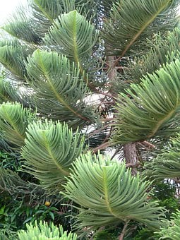 Branches, Tree, Distinctive, Araucaria Heterophylla