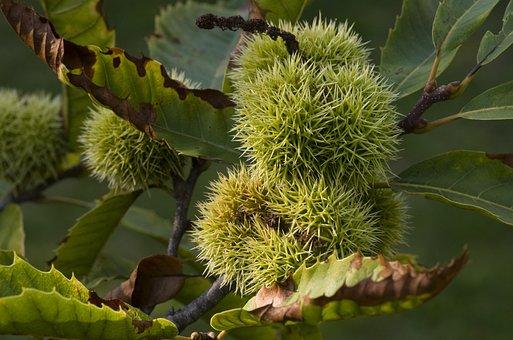 Maroni, Chestnut, Prickly, Green, Chestnuts