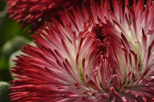 Flower, Blossom, Bloom, Red, White, Abstract, Close