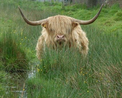Cow, Cattle, Highland Cattle, Fringe, Animal, Farm