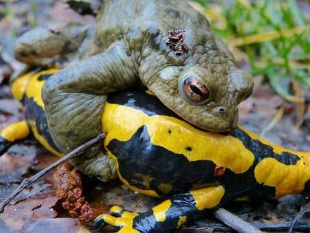 Common Toad, Fire Salamander, Mating Season, Error