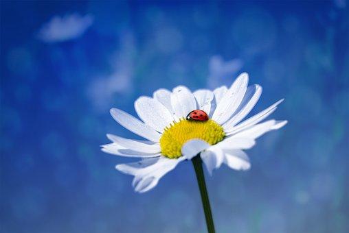 Flower, Marguerite, Ladybug, White Flower, Nature