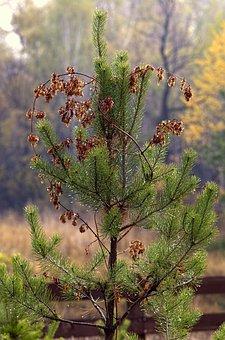 Autumn, Pine, Nature, Plant, Tree, Forest, Landscape