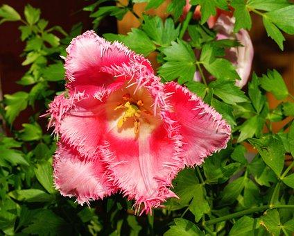 Flower, Blossom, Bloom, Tulip, Fringed Tulip, Nature