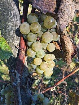 Autumn, Grapes, Garden, Living Nature, Golden Autumn