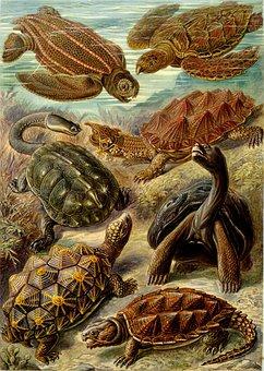 Turtles, Leatherback Sea Turtle, Fringe Turtle
