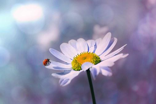 Ladybug, Flower, Marguerite, Nature, Blossom, Bloom