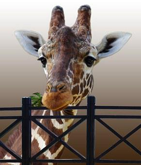 Giraffe, Animal, Zoo, Fence, Neck, Nature, Spotted