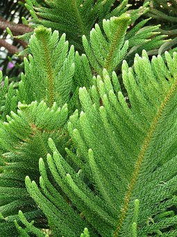 Branch, Needles, Distinctive, Araucaria Heterophylla