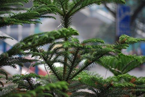 Tree, Pine, Norfolk, Island, Evergreen, Christmas