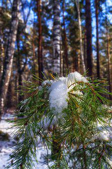 Snow, Pine, Winter, Winter Forest, Forest, Trees