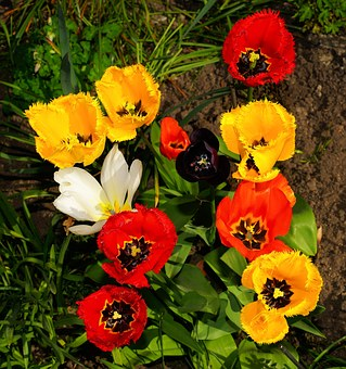 Flowers, Tulips, Fringed Tulips, Colorful, Spring