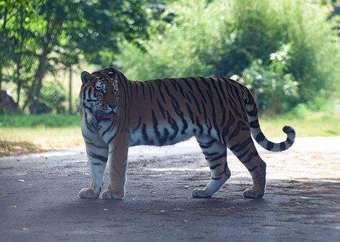 Amur Tiger, Tiger, Burning Bright, Predator, Captive