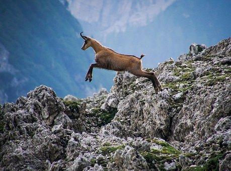 Chamois, Jump, Mammal, Alps, Mountain, Nature, Animal