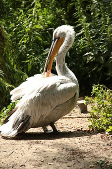 Bird, Pelican, Nature, Wildlife, Water, Animal