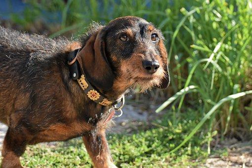 Dachshund, Rauhaardackel, Dog, Animal, Pet, Race