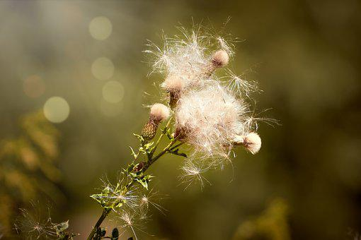 Thistle, Arable Scratch Thistle, Cirsium Arvense, Flora