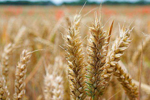 Close Up, Wheat, Bread, Nature, Food, Field, Plant