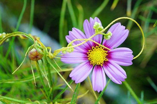 Cosmos, Auttom, Red Flower, Lotus Flower, Lotus, Pond