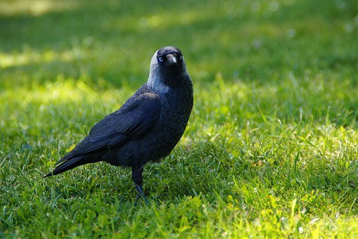 Jackdaw, Raven Bird, Raven, Bird, Black, Animal, Crow