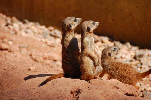 Meerkat, Cute, Animal, Trio, Charming, Animal World