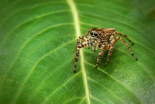 Spider Bouncing, Spider, Trap, Poisonous, Dangerous