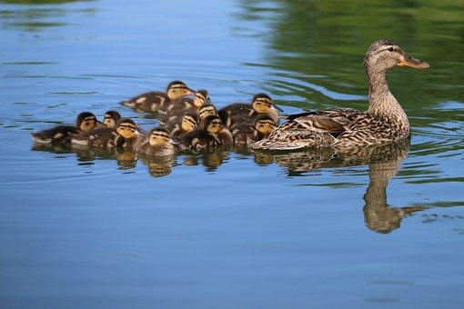 Ducks, Duck, Ducklings, Babies, Bird, Reflections