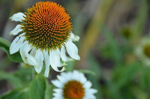 Coneflower, White, Alba, White Sun Hat, Echinacea Alba