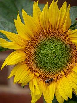 Flower, Sunflower, Summer, Bee, Honeybee, Honeybees