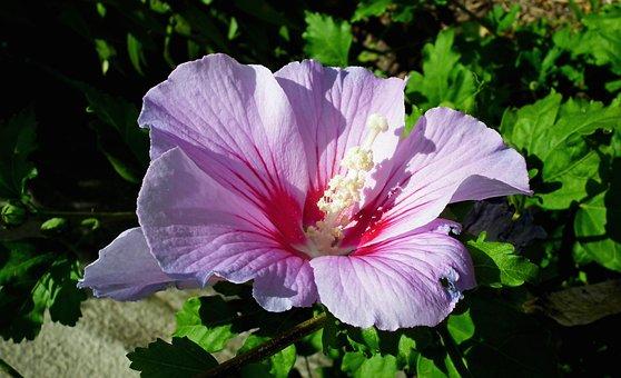 Hibiscus, Flower, Garden, Summer, Hibiscus Syriacus