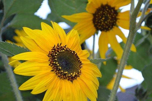 Sunflower, Sun, Yellow, Garden, Plant, Flower