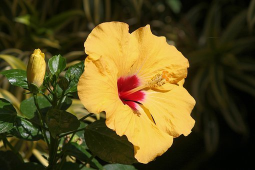 Hibiscus, Marshmallow, Blossom, Bloom, Yellow, Flower
