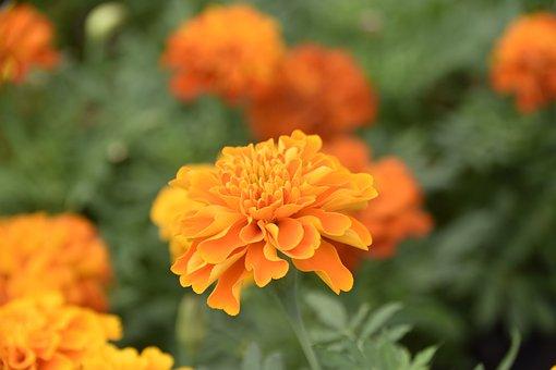 Flower, Flowers Carnation Turkey, Flower Color Orange