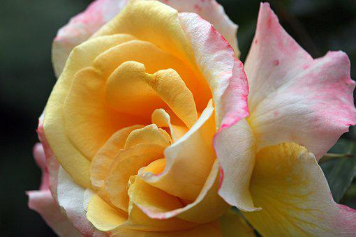 Bush Rose, Thorns, Flowers, Plant, Bud, Spur, Beauty