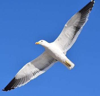 Seagull, Bird, Flying, Blue, Single