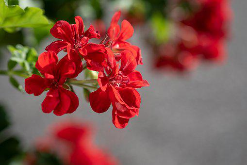 Geranium, Red, Flower, Blossom, Bloom, Nature, Garden