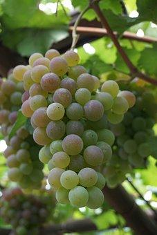 Wine, Grapes, Vineyard, Winegrowing, Green