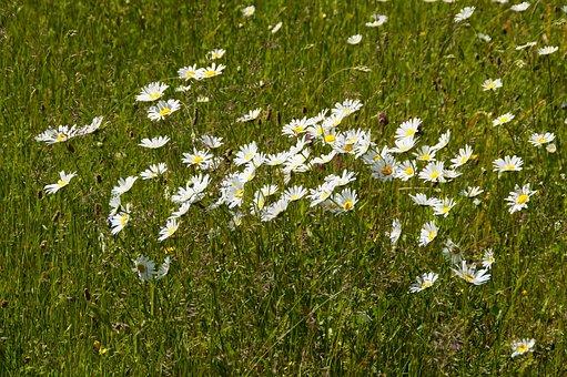 Daisies, Wild, Bloom, Grass, Wild Flowers