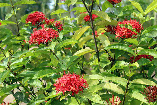 Red Flowers, Green Leaves, Five Petals, Small, Plant