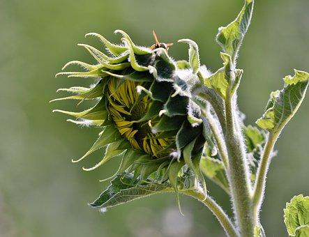 Sunflower, Plant, Summer, Petals, Growth, Nature